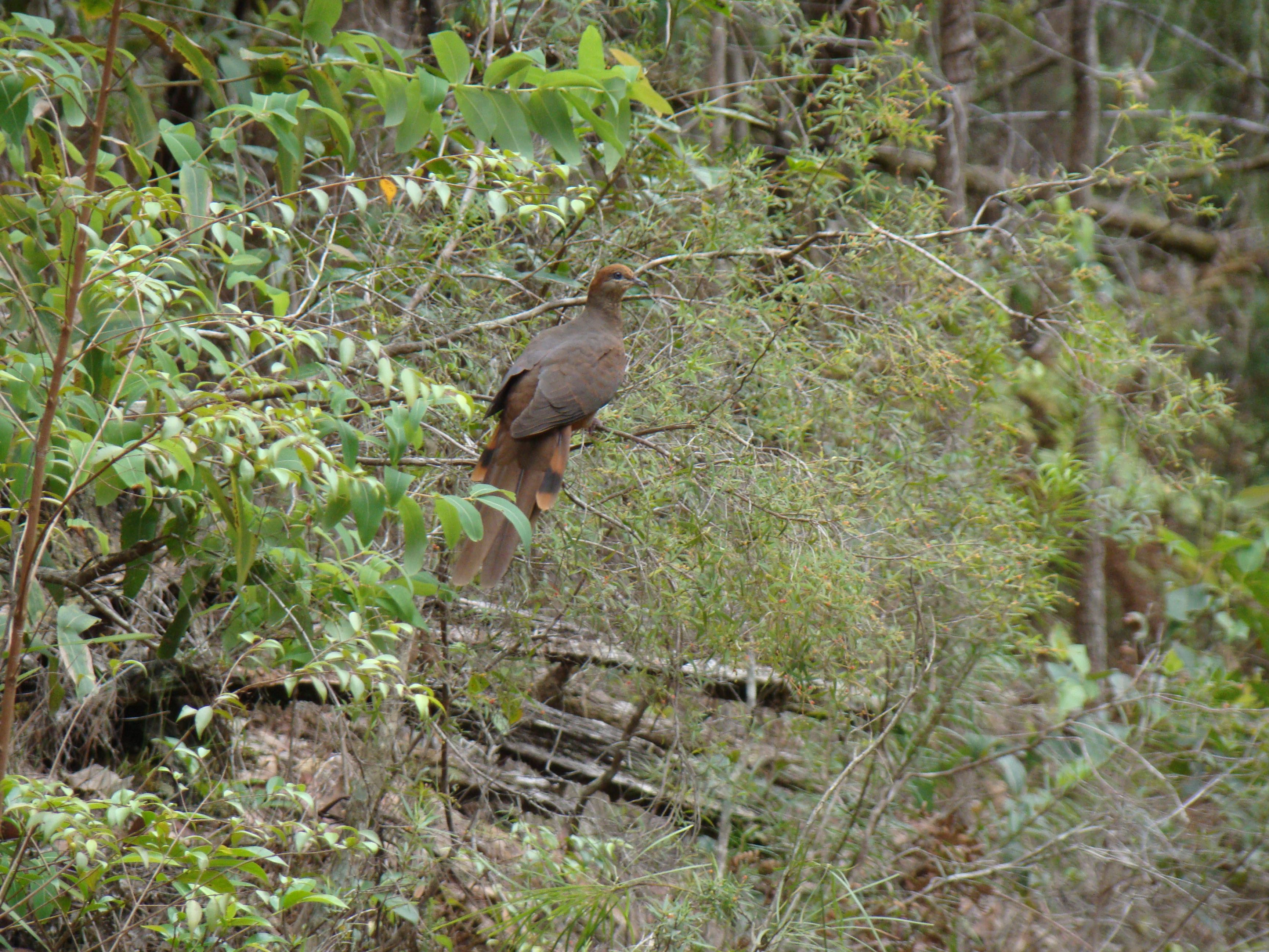 Brown Cuckoo-Dove, Macropygia amboinensis