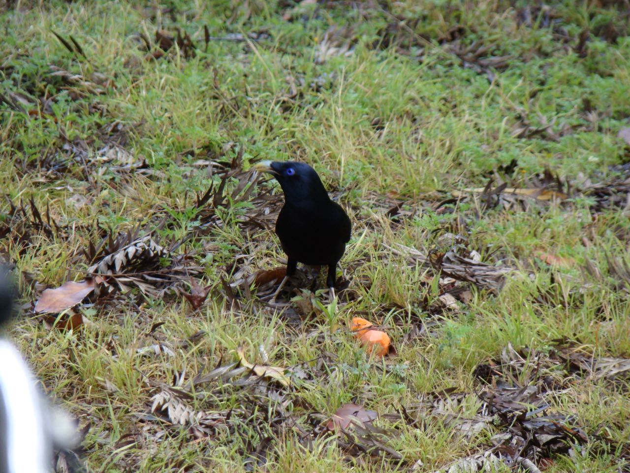 Satin Bowerbird again