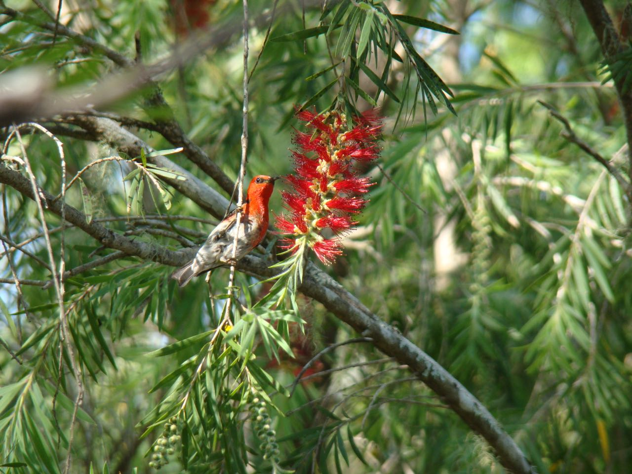 Scarlet Honeyeater again