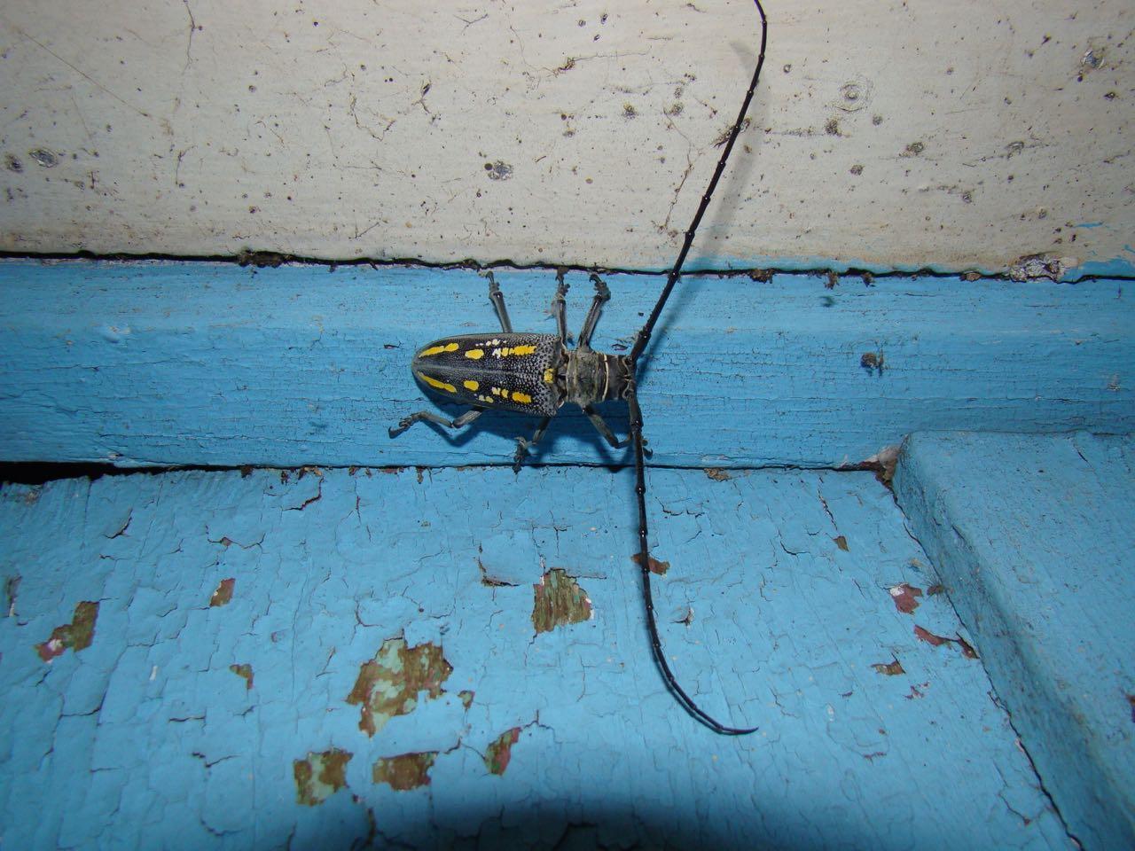 Batocera boisduvali (longicorn beetle)
