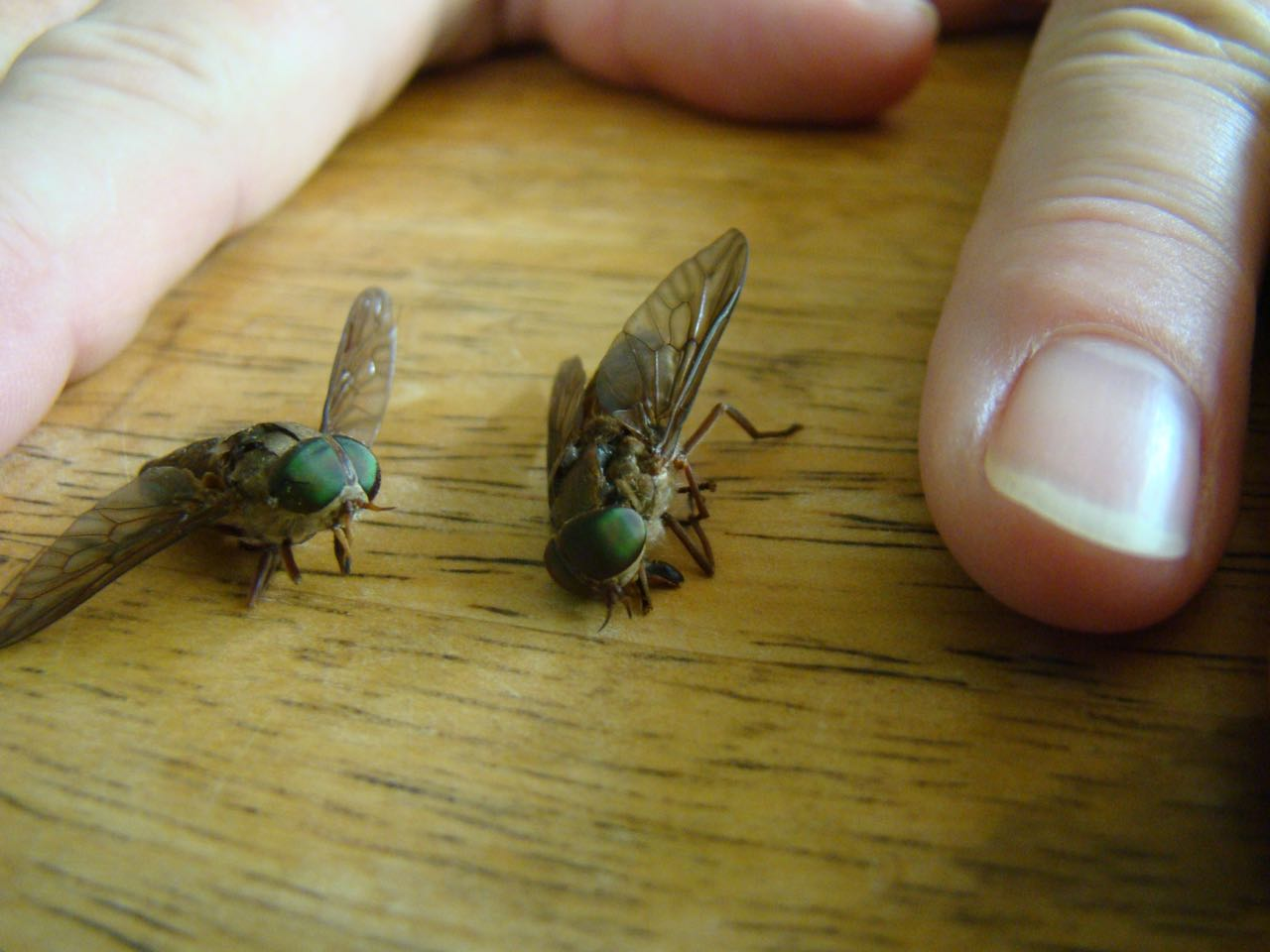 Horse Flies, March Flies  March Fly (Tabanidae family )