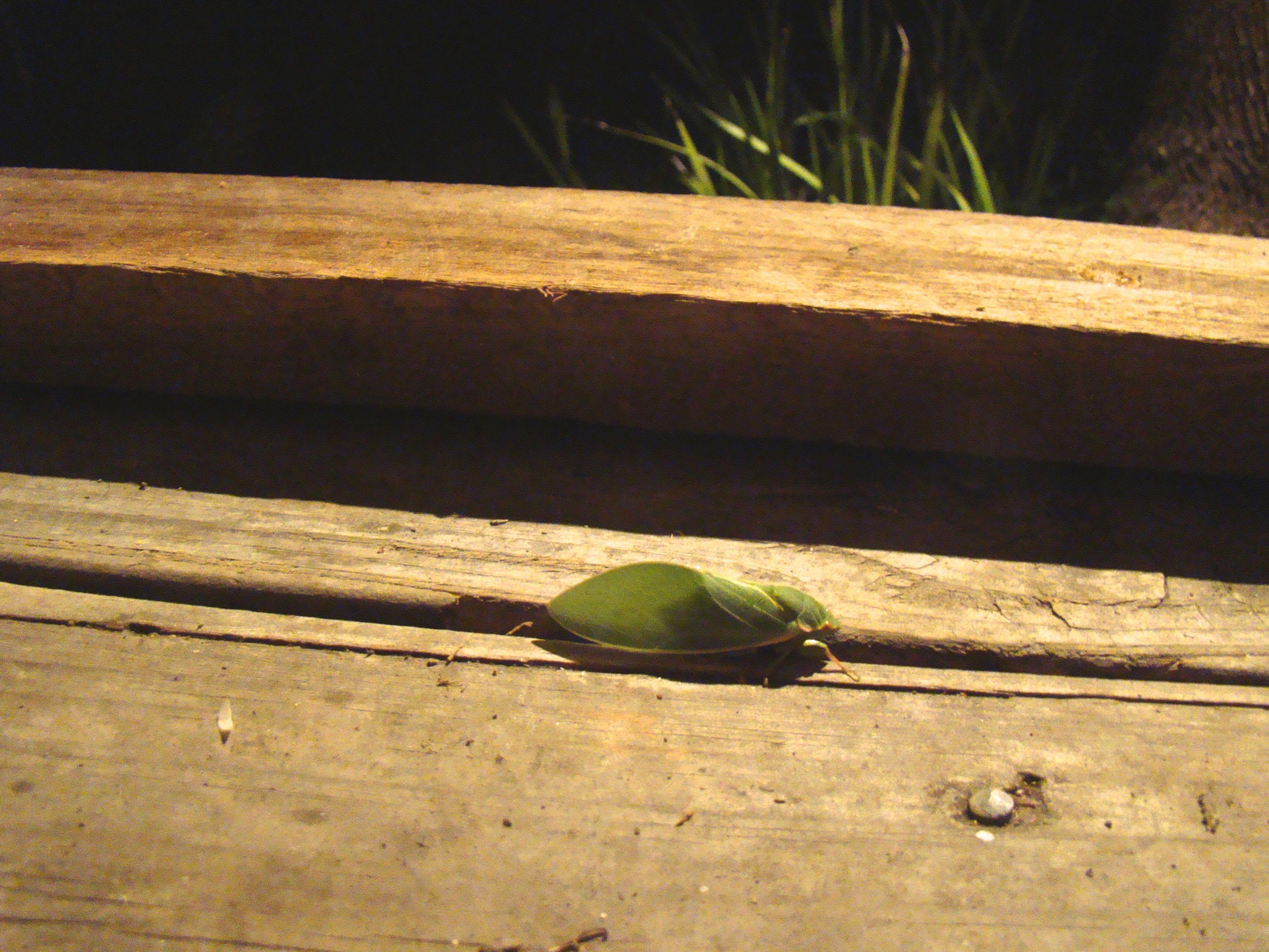 Lesser Bottle Cikada, (Chlorocysta vitripennis)