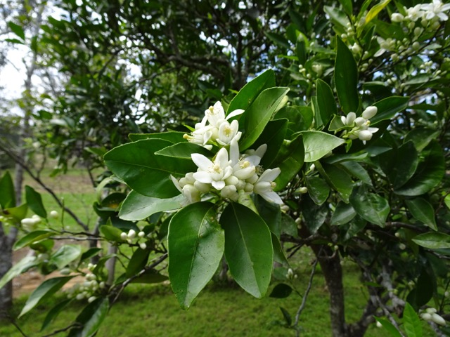 Citrus buds and flowers