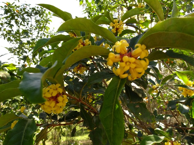 Kumquat buds and flowers